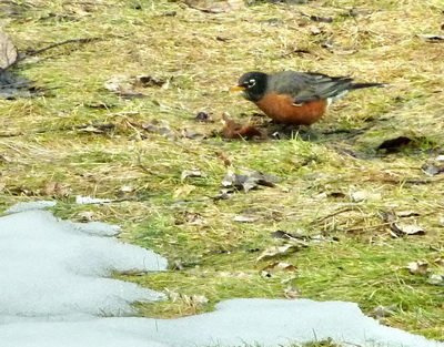 Here is the first robin I saw this year, which was in my backyard, amidst the snow.